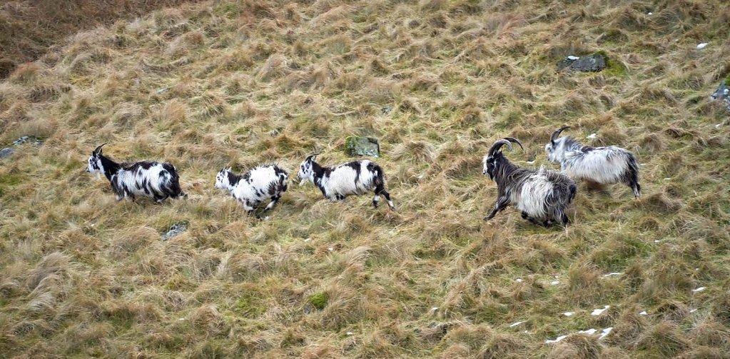 blackhope-goats.jpg