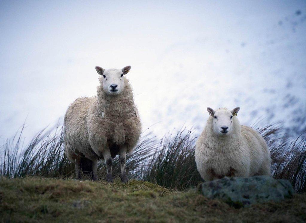 blackhope-sheep.jpg