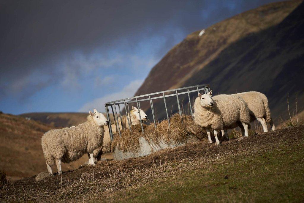 01-sheep.jpg
